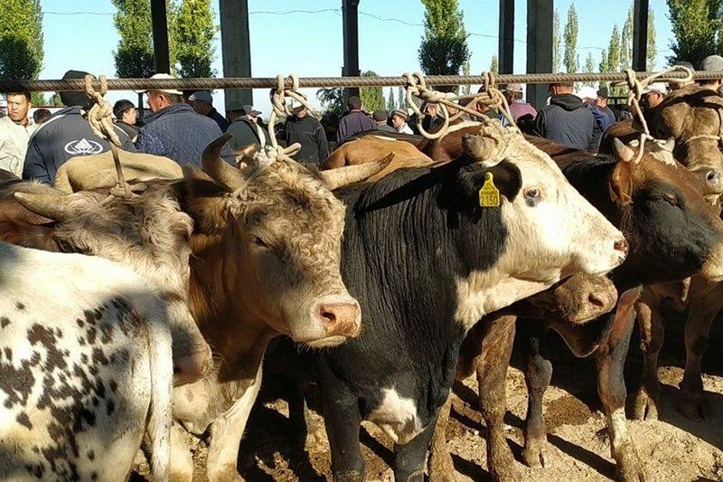 В 2020 году Кыргызстан увеличил экспорт  скота в Узбекистан в 9,2 раза.  Начало трагедии?